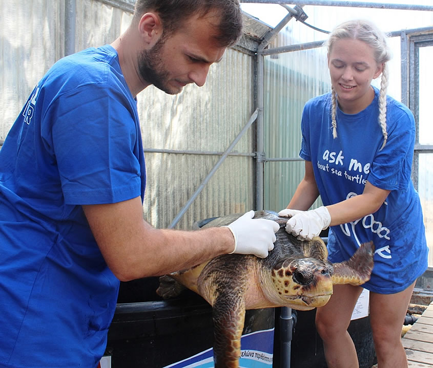 Many strandings of sea turtles in Lakonikos Bay during the first half of this summer