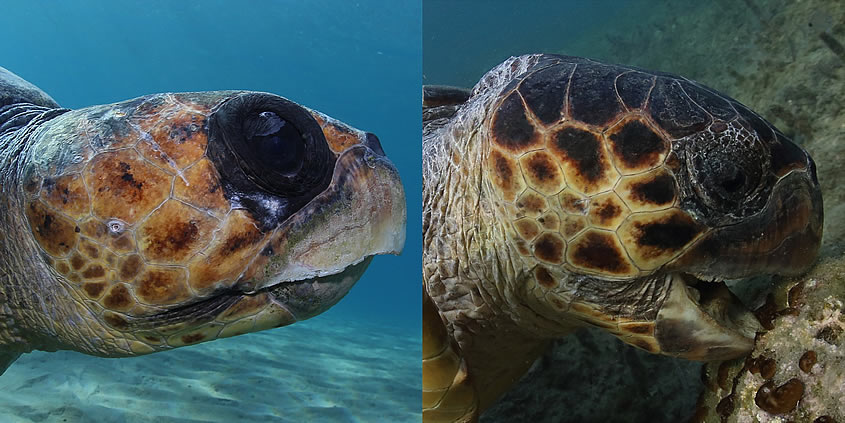 "How do we know that the turtle in the photo is unmistakably ""Agisilaos""?"