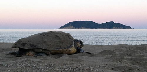 500 nests of the Caretta caretta sea turtles in Zakynthos!