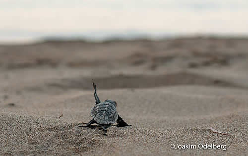 In Sekania the first  loggerhead sea turtle hatchlings in the National Marine Park of Zakynthos this year