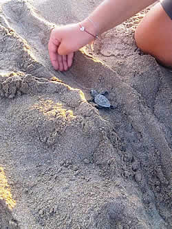 The first sea turtle nests hatched in Rethymno, Crete