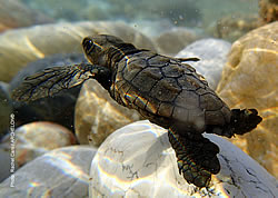 The first nest of a Caretta caretta in Greece has hatched in Zakynthos