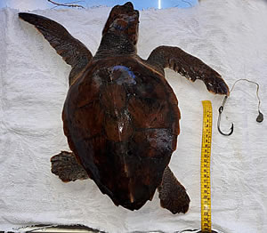 The first research results on plastics in sea turtles in Greece