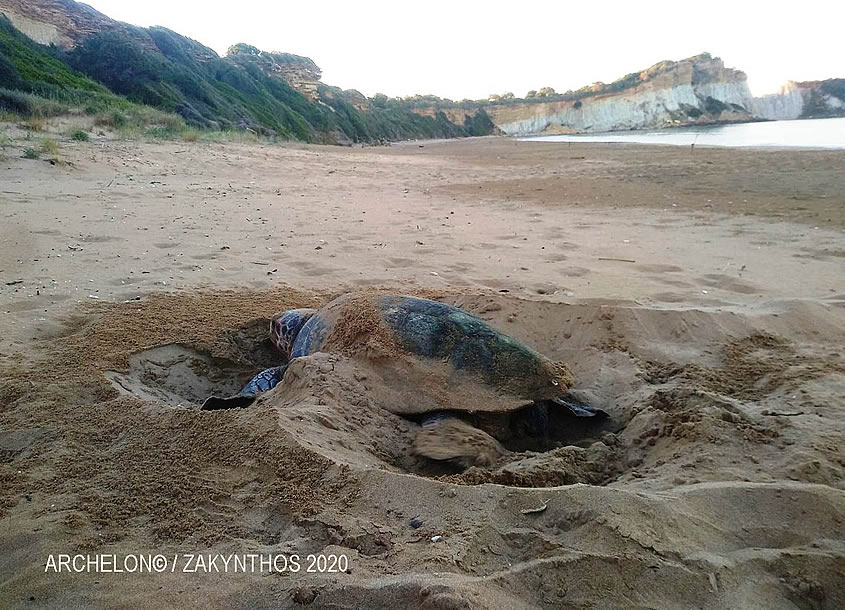 Lockdown measures eased the egg-laying of sea turtles in Greece but didn't cause the observed increase of their nests